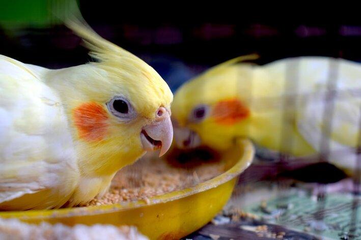 calopsita-comer-ovo