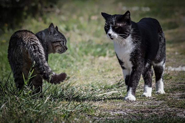 briga de gatos