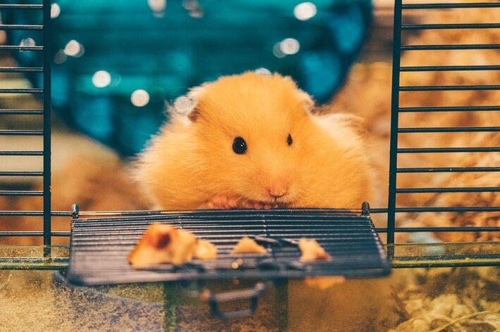 cuidado com dentes de hamster