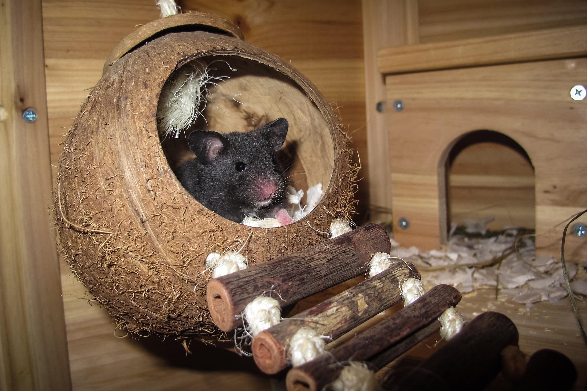hamster preto