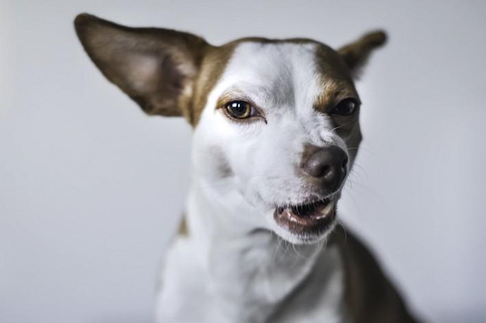 Cão bravo e rosnando