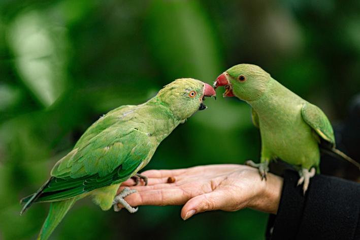 Saiba tudo para cuidar de filhote de papagaio