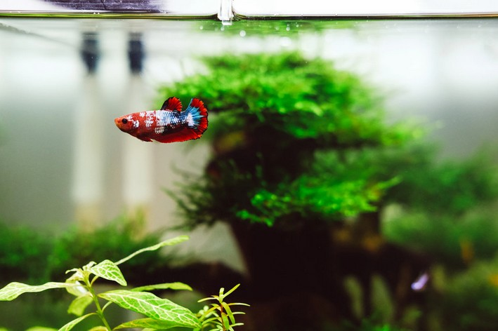 Peixe betta sozinho no aquário com plantas