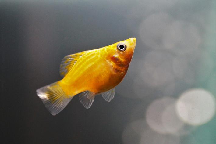 Peixe molly: você sabe qual é?