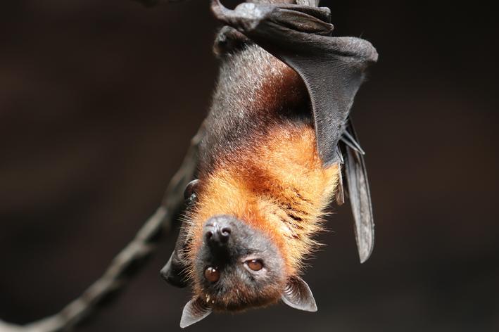 picada de morcego em cachorro