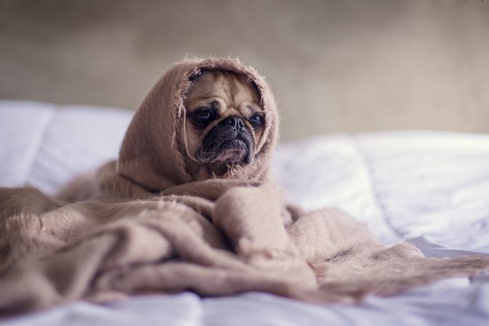 remédio para febre em cachorro