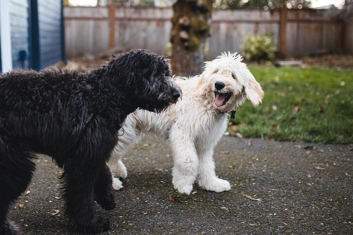 Tosse de cachorro