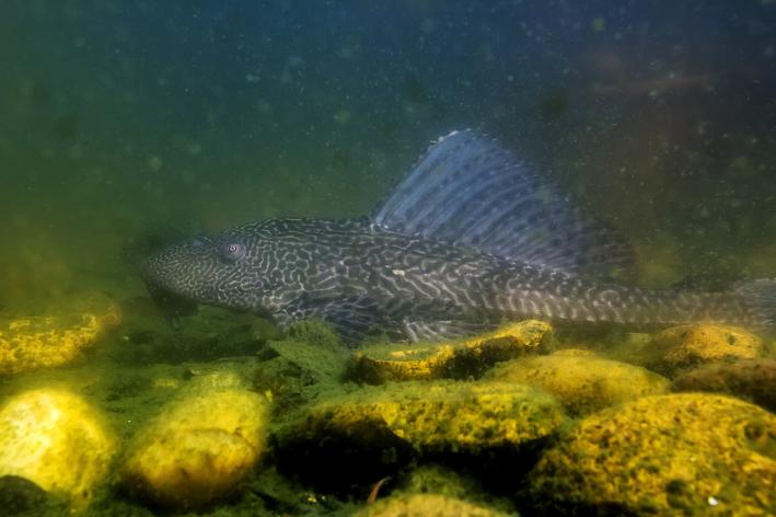 peixe cascudo