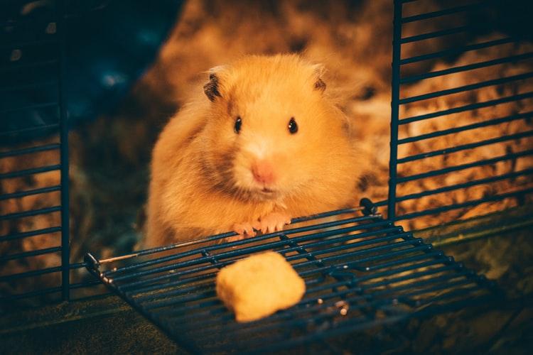 amansar-hamster