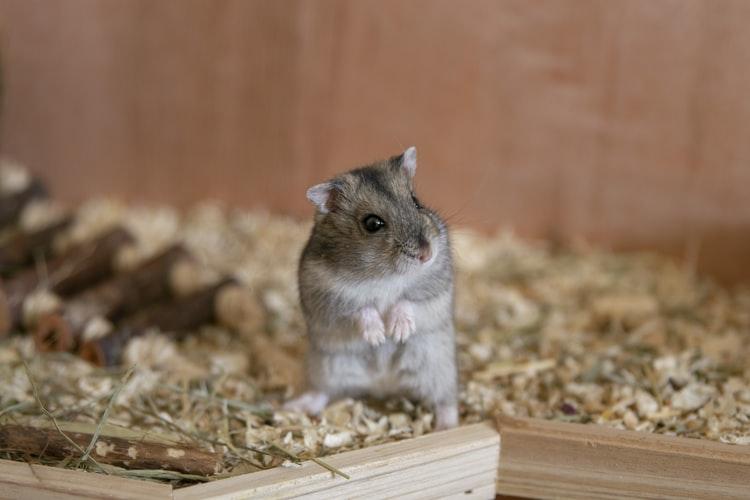 banho-em-hamster
