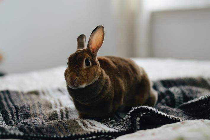 coelho pode comer batata