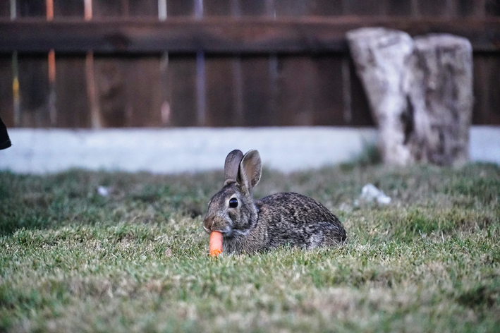 coelho pode comer cenoura