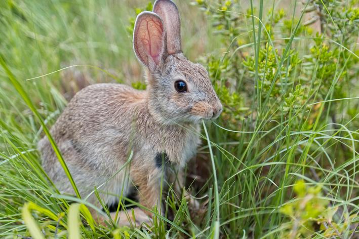 coelho pode comer grama
