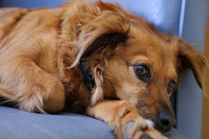 displasia coxofemural em cães