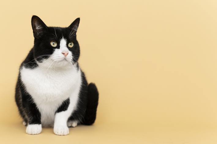 Gato preto e branco com fundo laranja