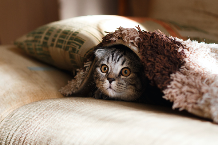 gato escondido abaixo do tapete