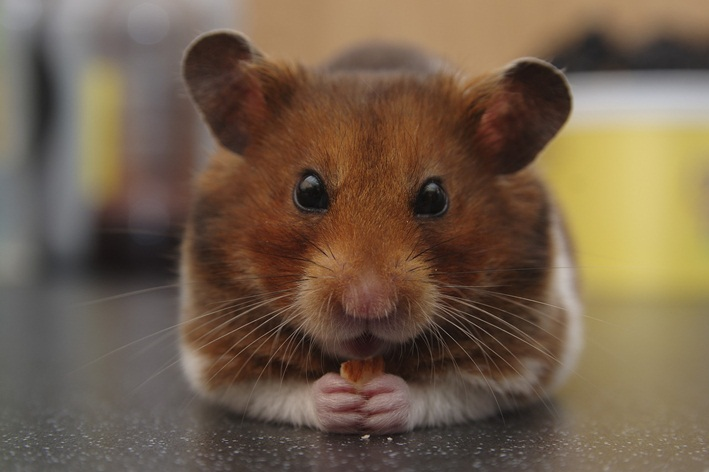 hamster come filhotes