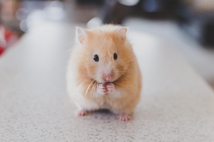 hamster pode comer cenoura