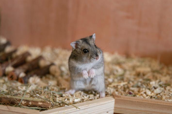 hamster pode comer maçã