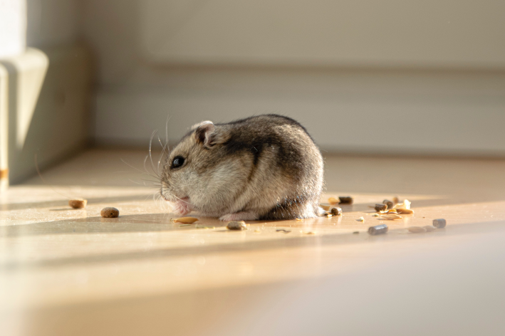 hamster pode comer uva