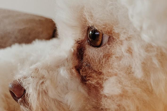 Lágrima ácida em cão