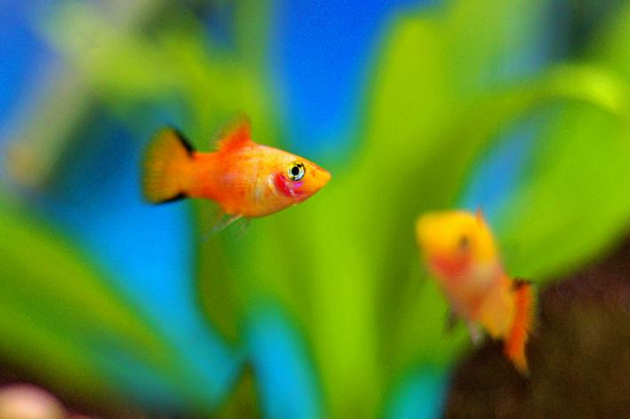peixe platy