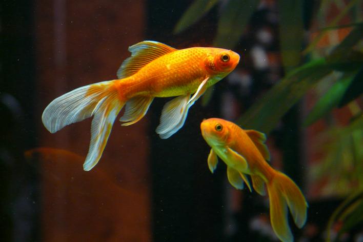 peixes de aquario