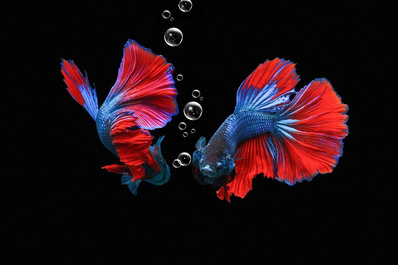 Qual peixe posso colocar junto com o betta?