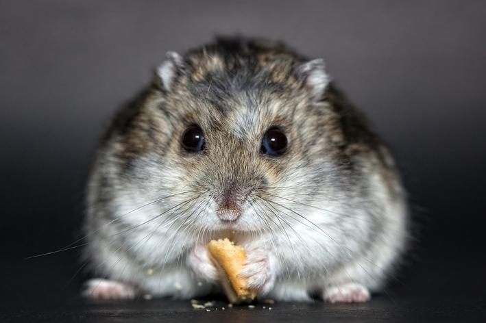 Quantos anos vive um hamster