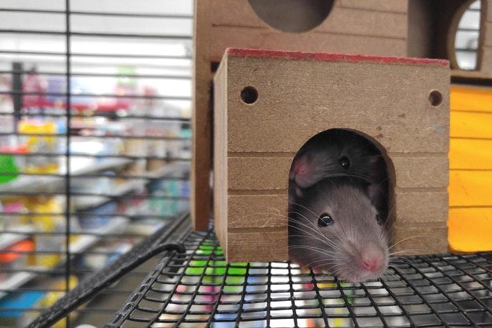 ratos domésticos dentro de uma gaiola