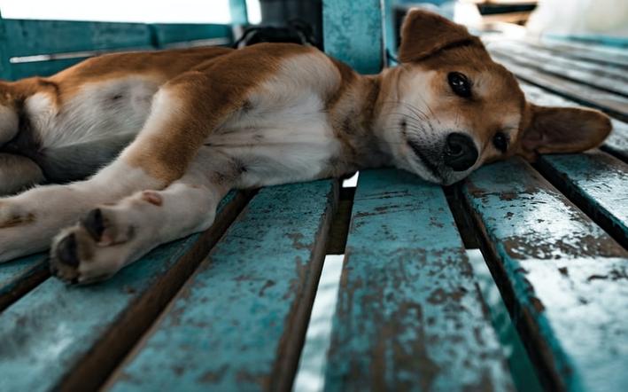 sintomas de envenenamento em cachorro