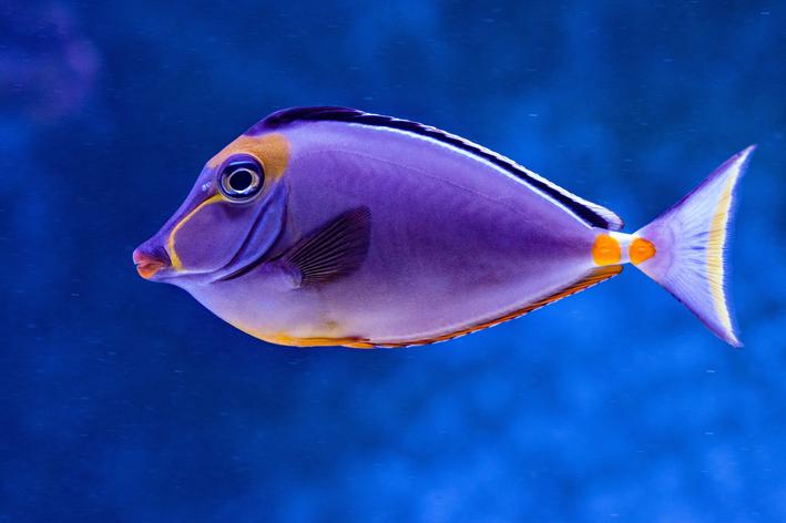 Peixe cirurgião-patela