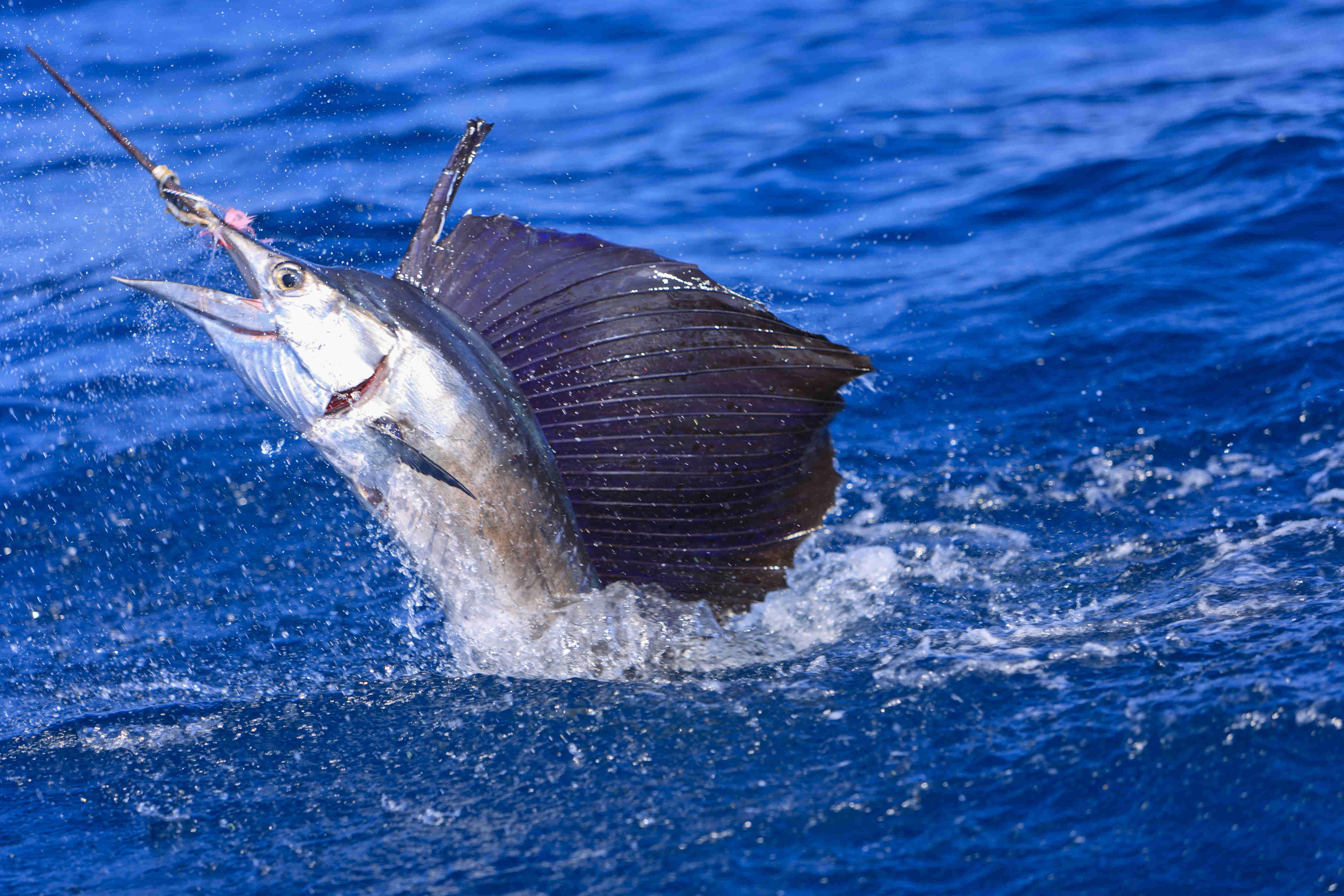 Agulhão-bandeira: saiba tudo sobre esse peixe incrível