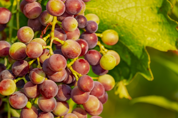 Como plantar uva: passo a passo