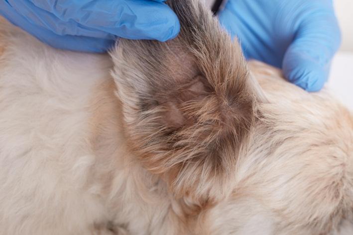 cera preta no ouvido do cachorro