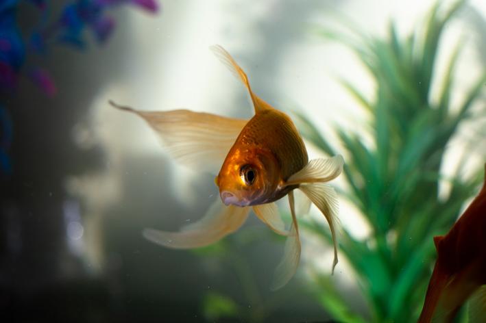 Dourado peixe: conheça algumas espécies