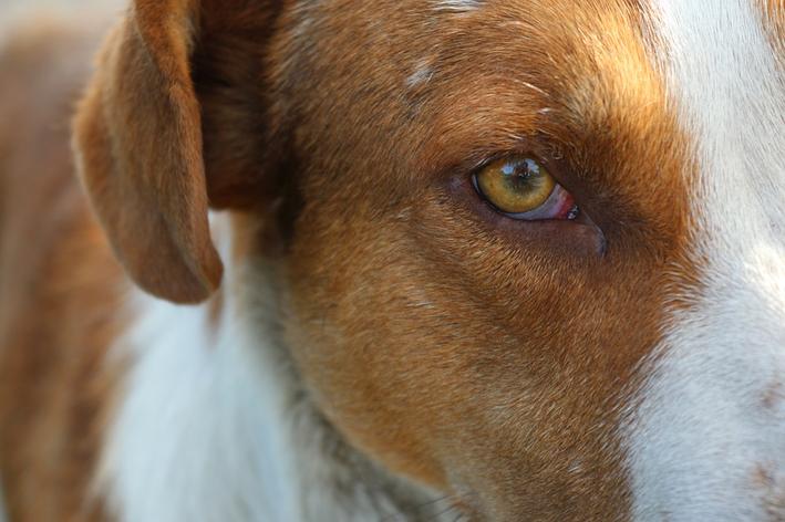 Glaucoma em cachorro: entenda mais sobre a doença