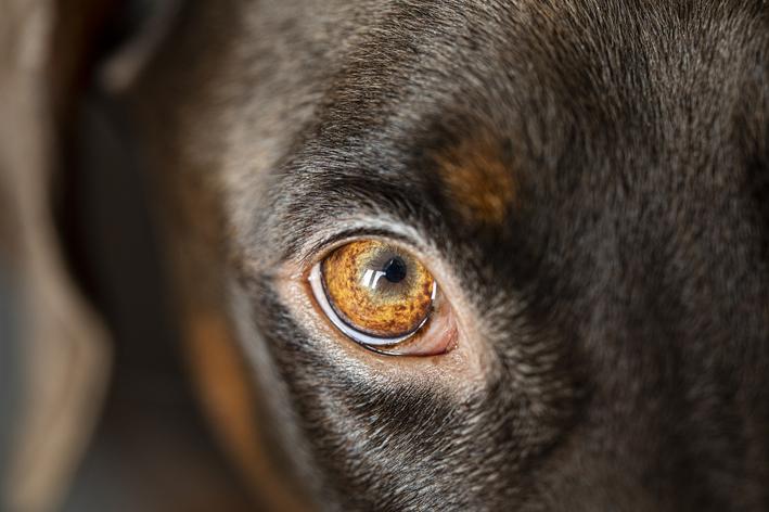 Oftalmologia veterinária: o que é e quando procurar