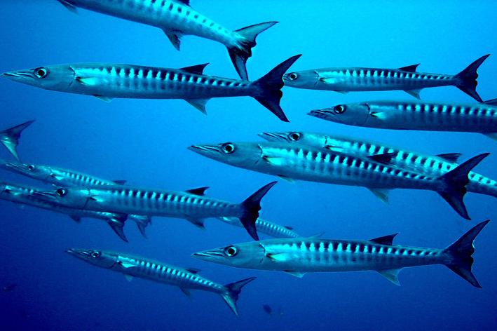 Peixe barracuda: saiba tudo sobre esse animal incrível