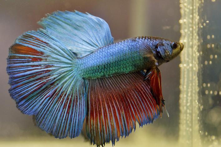 o que o peixe betta pode comer alem da ração