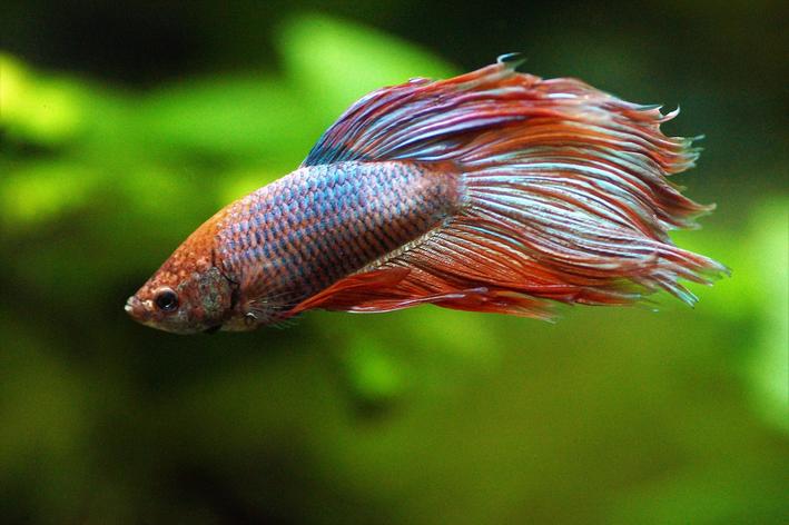 peixe betta alajanjado