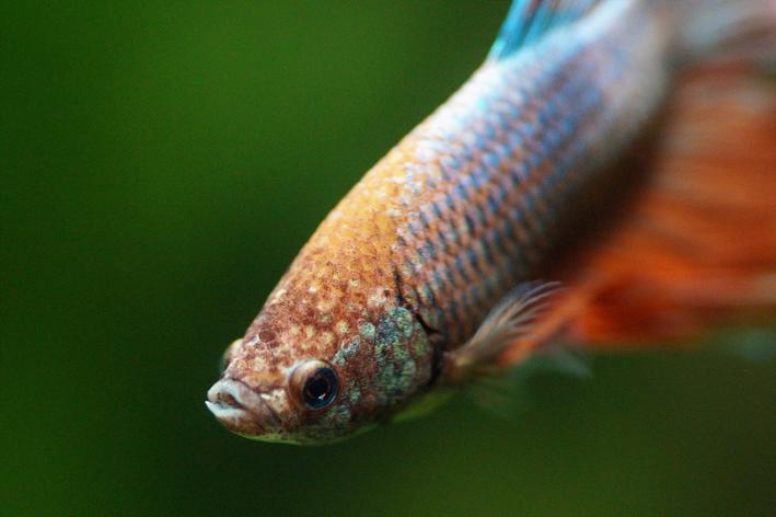 Peixe betta de cauda laranja