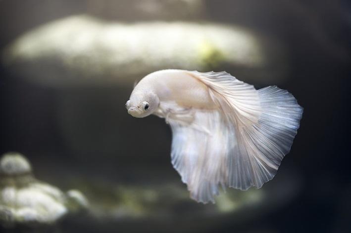 peixes de água doce para aquário