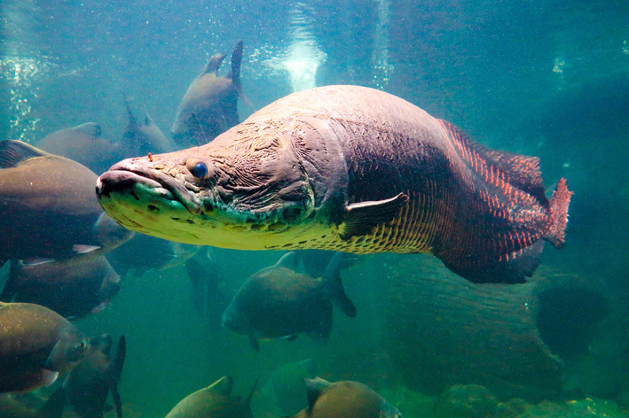 Sabe qual o maior peixe de água doce? Descubra aqui!