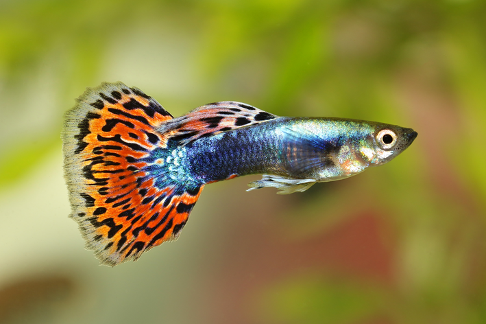 peixe escuta