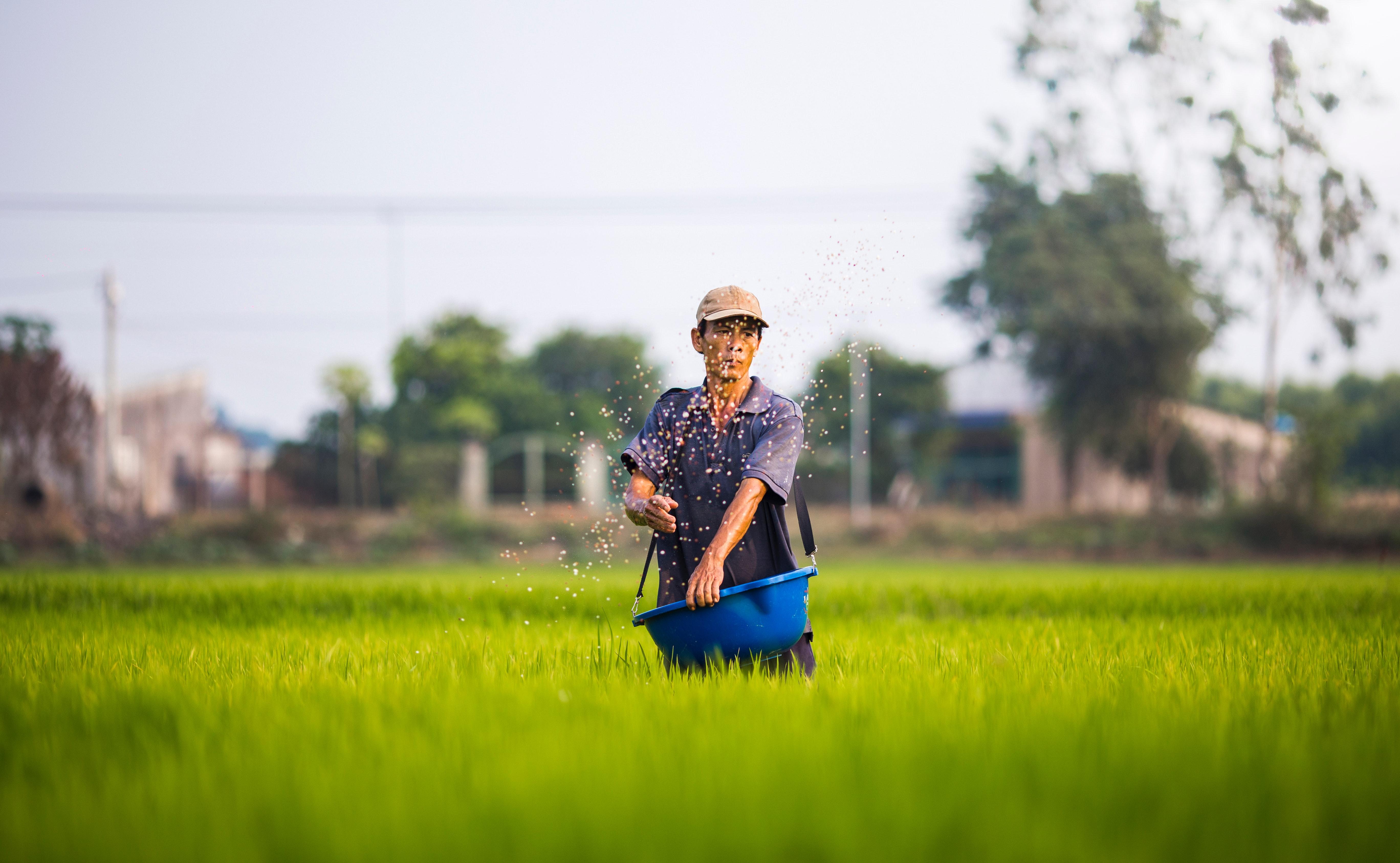 Como plantar arroz? Confira essas dicas incríveis!