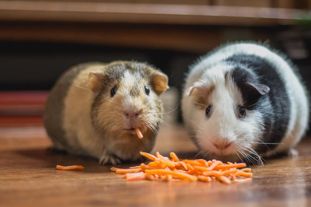 Hamster doente? Veja como cuidar dele
