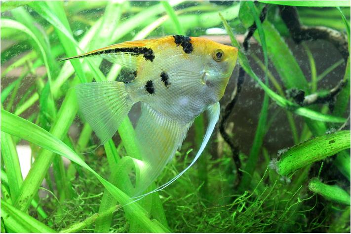 Peixe escalar