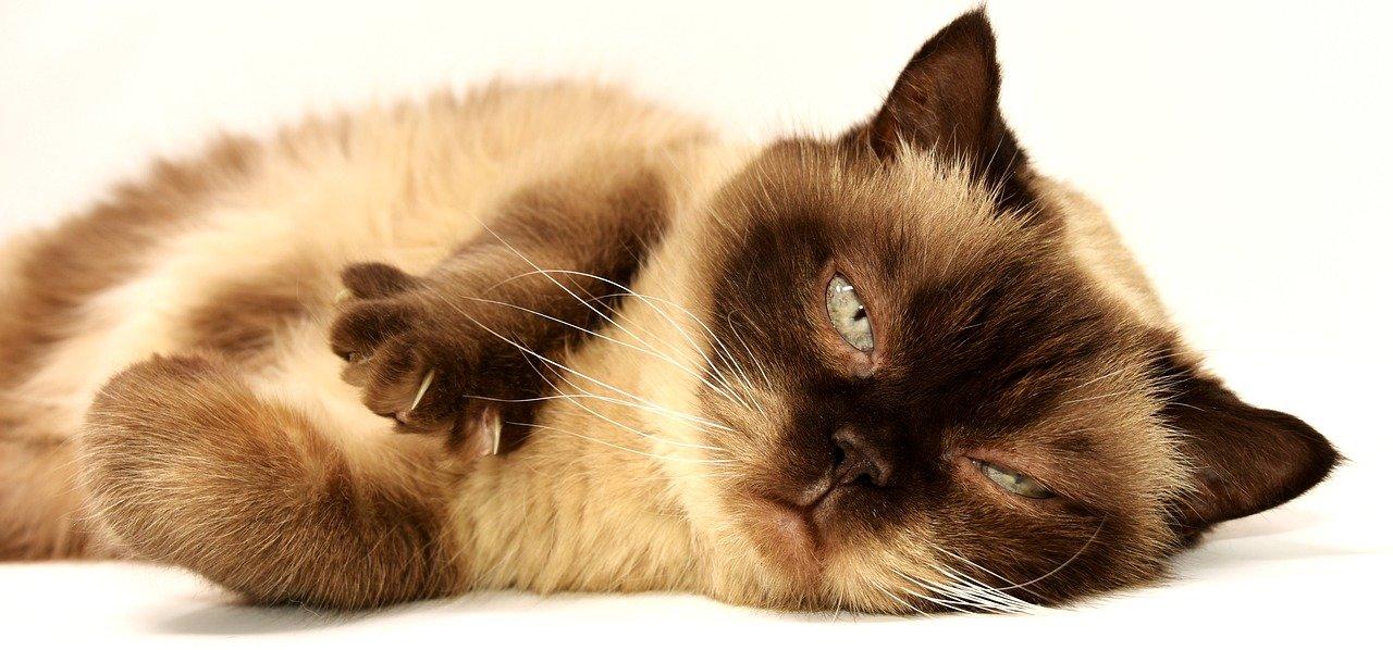 Pelo de gato caindo: o que pode ser?
