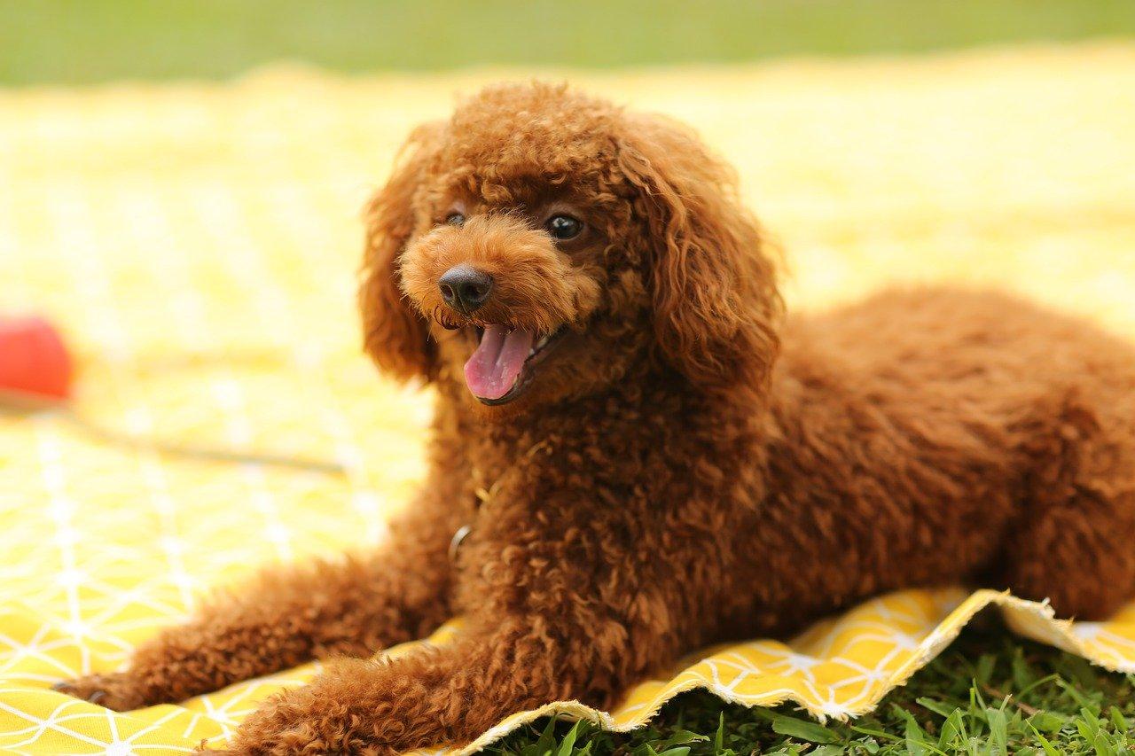 poodle deitado numa toalha amarela esperando bifinho para cachorro